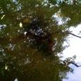 水面に写る木々とおたまじゃくし